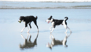 Two dogs playing ball on the beach