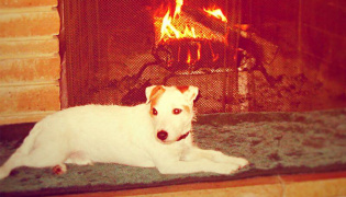 A Jack Russell by the fireplace