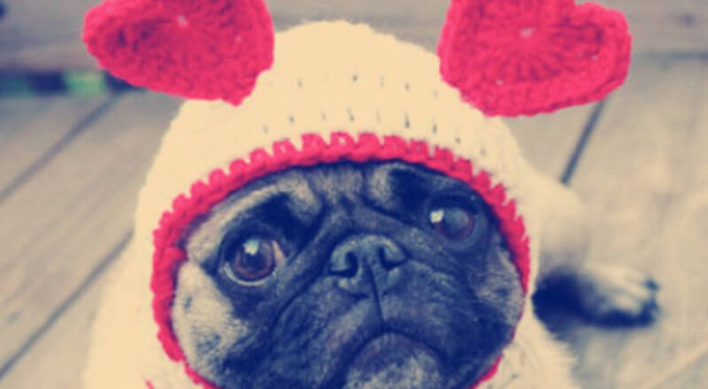 A pug wearing a heart hat