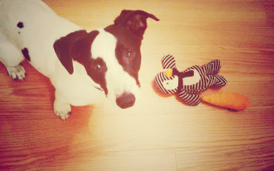 A dog and her toy