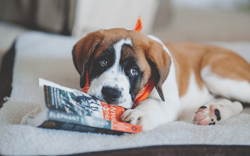 What To Do if Your Puppy is Chewing Everything