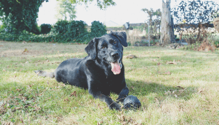 black lab laying