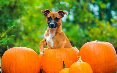 Trick or Treating With Your Dog